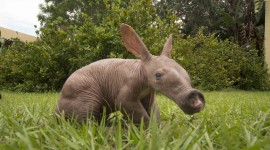 Aardvark Wallpaper For PC