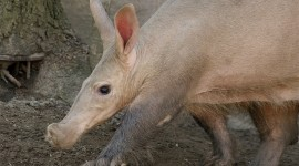 Aardvark Wallpaper Full HD