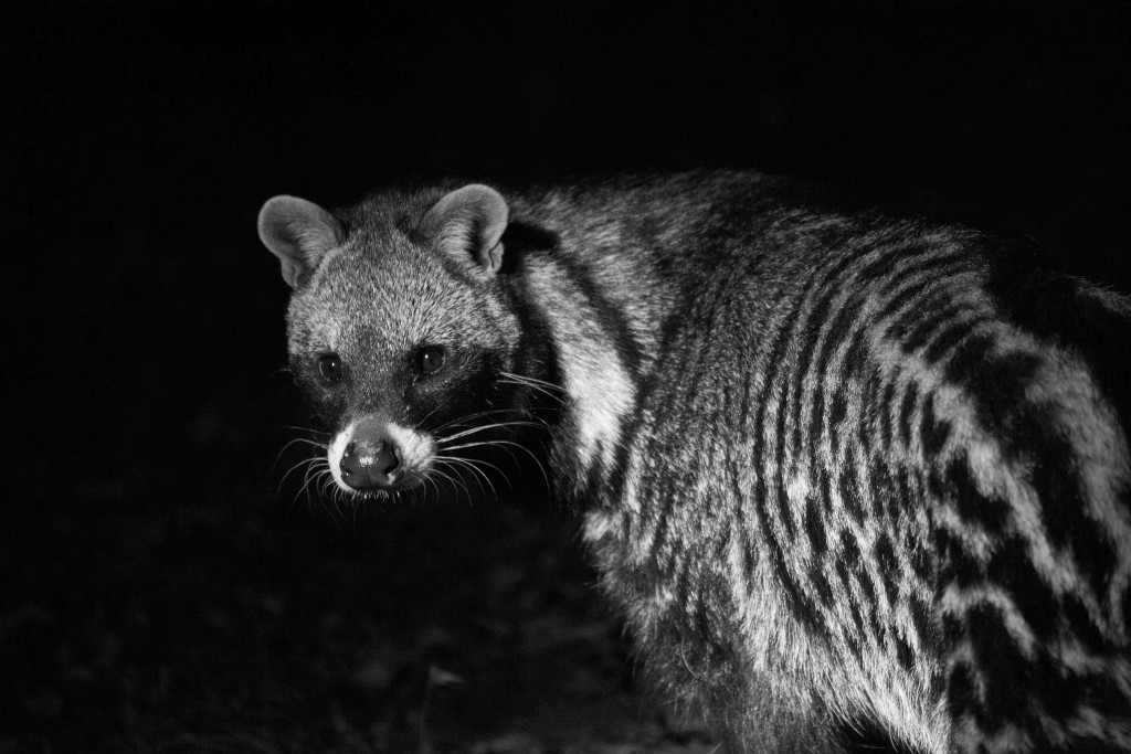 African Civet Cat wallpapers HD