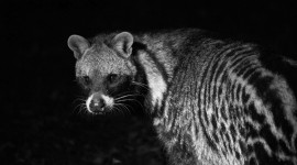 African Civet Cat Best Wallpaper
