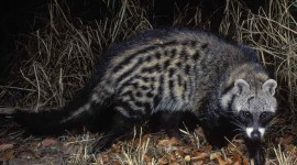 African Civet Cat Desktop Wallpaper