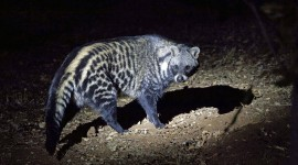 African Civet Cat Desktop Wallpaper For PC