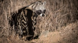 African Civet Cat Desktop Wallpaper HD
