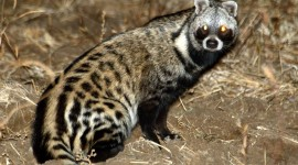 African Civet Cat Photo