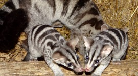 African Civet Cat Photo Download
