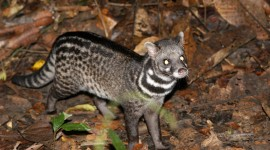 African Civet Cat Photo Free