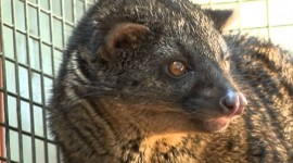 African Civet Cat Wallpaper 1080p