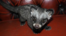 African Civet Cat Wallpaper