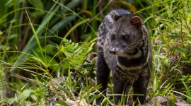 African Civet Cat Wallpaper For Desktop