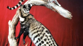 African Civet Cat Wallpaper For Mobile