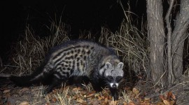 African Civet Cat Wallpaper Free