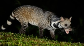 African Civet Cat Wallpaper Full HD
