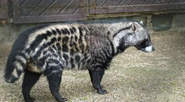 African Civet Cat Wallpaper Gallery