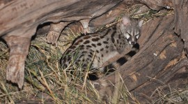 African Civet Cat Wallpaper HQ