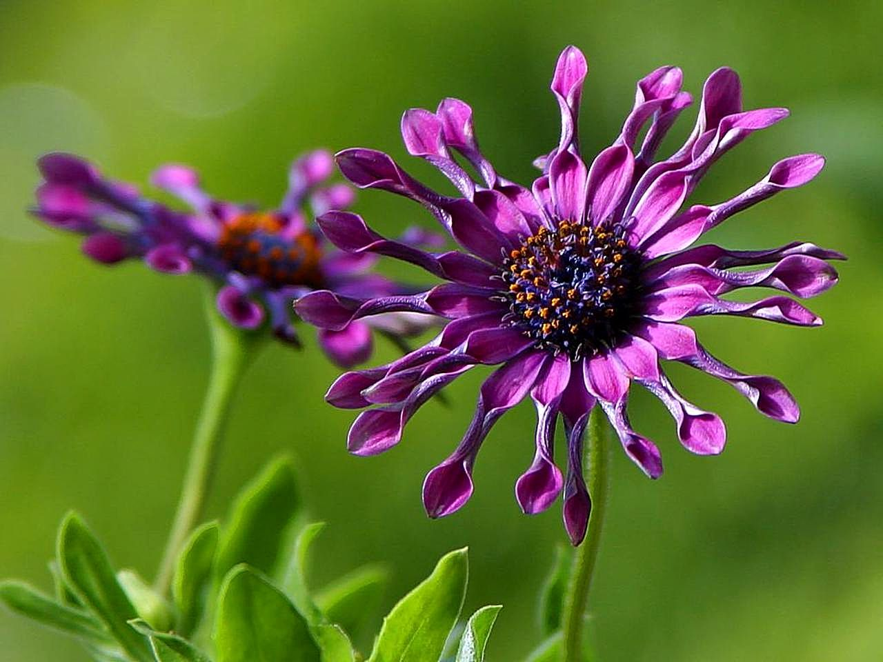 African daisies wallpapers high quality download free african daisies wallpapers izmirmasajfo