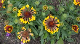 African Daisies Photo Download