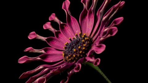 African Daisies wallpapers high quality