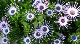 African Daisies Wallpaper Free