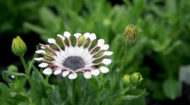 African Daisies Wallpaper Gallery