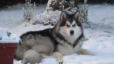 Alaskan Malamute wallpapers high quality