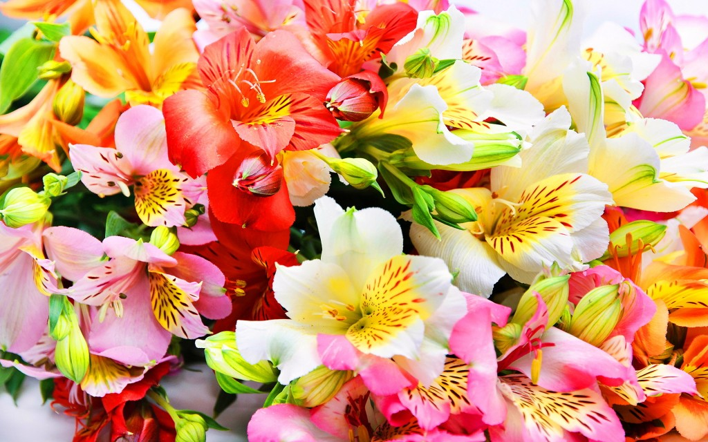 Alstroemeria wallpapers HD