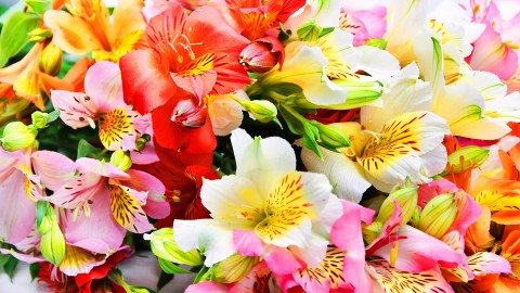 Alstroemeria wallpapers high quality
