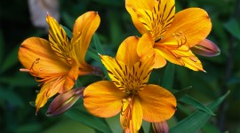 Alstroemeria Desktop Wallpaper For PC