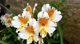 Alstroemeria Photo