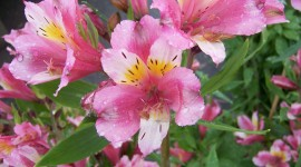 Alstroemeria Photo#3