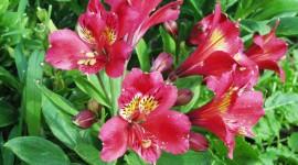 Alstroemeria Pics
