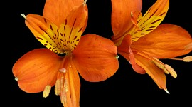 Alstroemeria Wallpaper Background