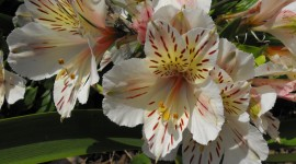 Alstroemeria Wallpaper Download Free