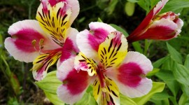 Alstroemeria Wallpaper For Desktop