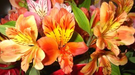 Alstroemeria Wallpaper For PC