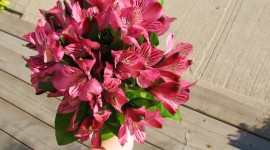 Alstroemeria Wallpaper Free