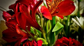 Alstroemeria Wallpaper Full HD