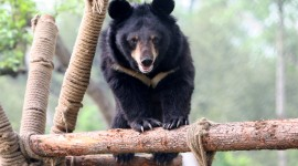 Asian Bear Wallpaper Download Free