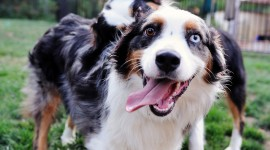 Australian Shepherd Dog Best Wallpaper