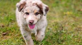 Australian Shepherd Dog High Quality Wallpaper