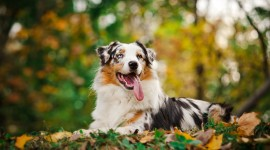 Australian Shepherd Dog Wallpaper 1080p