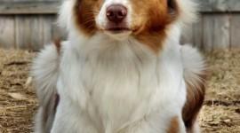 Australian Shepherd Dog Wallpaper
