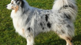 Australian Shepherd Dog Wallpaper Download
