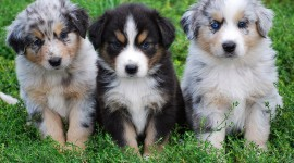 Australian Shepherd Dog Wallpaper Download Free