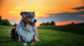 Australian Shepherd Dog Wallpaper For Desktop