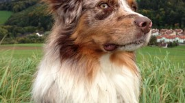 Australian Shepherd Dog Wallpaper For IPhone