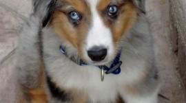 Australian Shepherd Dog Wallpaper For IPhone Free