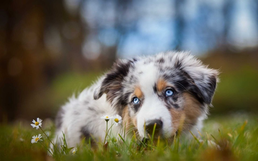 Australian Shepherd Dog wallpapers HD