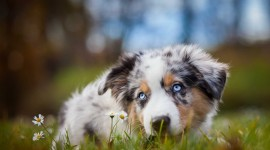Australian Shepherd Dog Wallpaper For PC