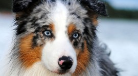 Australian Shepherd Dog Wallpaper Free