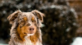 Australian Shepherd Dog Wallpaper Full HD